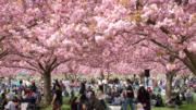 Sakura-festival-cph